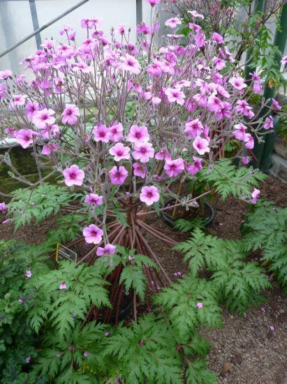 geranium-maderense-yeo-02.jpg
