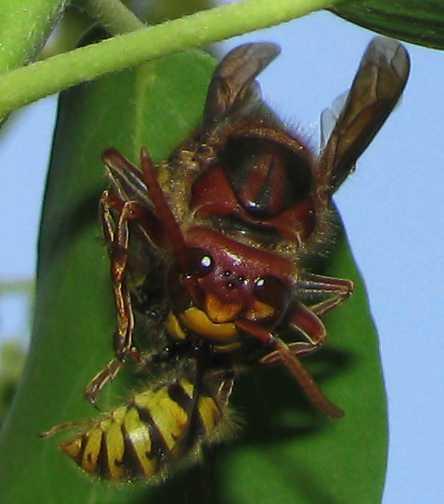 vespa-crabro-vespula-sp.jpg