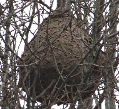 vespa-velutina-nid-1.jpg